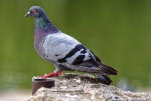 Nettoyage de fientes de pigeon